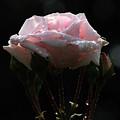 Pink Rose Silhouette 2 by Edward Sobuta