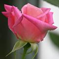 Pink Rose Squared by Teresa Mucha
