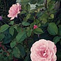 Pink Rose by Thomas Dudas