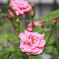 Pink Rose With Buds by Carol Groenen