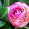 Pink Rose With Leaves by Annerose Walz