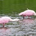 Pink Roseate Spoonbills Feeding by Debra Martz