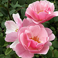 Pink Roses 2 by Amy Fose