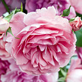 Pink Roses by Frank Tschakert