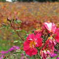 Pink Roses In Fall by Jeff White