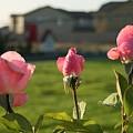 Pink Roses by Joshua Sunday