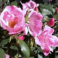 Pink Roses by Keith Gray