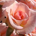 Pink Roses by Liz Vernand