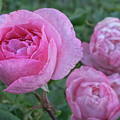 Pink Roses by Philip Rodgers