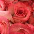 Pink Roses by Rachel Gilman
