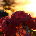 Pink Roses Sunset by Ck