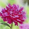 Pink Ruffles by Kerri Farley