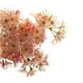 Pink Sakura by Budi Nur Mukmin