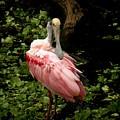 Pink Spoonbill by Rosalie Scanlon