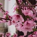 Pink Spring by David Du Hempsey