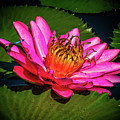 Pink Summer Water Lily by Nick Zelinsky