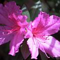 Pink by Suzanne Gaff