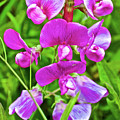 Pink Sweet Peas In Huntington Gardens In San Marino-california by Ruth Hager