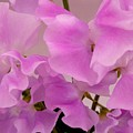 Pink Sweetpeas by Joan-Violet Stretch
