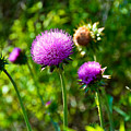 Pink Thistle Study 1 by Robert Meyers-Lussier