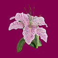Pink Tiger Lily Blossom by Walter Colvin