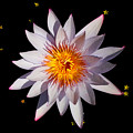 Pink Tipped Water Lily On Black by Layla Alexander