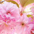 Pink Tree Blossoms Art Prints Spring Blossoms Baslee Troutman by Baslee Troutman