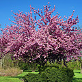 Pink Tree by Sally Weigand