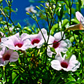 Pink Trumpet Flowers In Pilgrim Place In Claremont-california by Ruth Hager