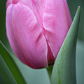 Pink Tulip Beauty by Dale Kincaid