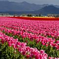 Pink Tulip Fields by Teri Virbickis