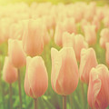 Pink Tulip Flowers In The Garden On Sunny Day In Spring by Michal Bednarek