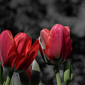 Pink Tulip Pop by Keith Smith