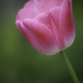 Pink Tulip by Teresa Mucha