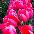 Pink Tulips by Amber Carpenter