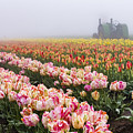 Pink Tulips And Tractor by John Trax