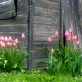 Pink Tulips And Weathered Shed by Roger Soule