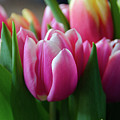 Pink Tulips by Cheryl Williver
