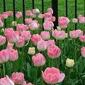 Pink Tulips by Cynthia Butler