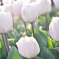 Pink Tulips by Damijana Cermelj