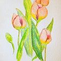 Pink Tulips by J R Seymour