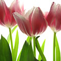 Pink Tulips by Jane Linders