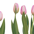 Pink Tulips by Rita Magos