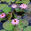 Pink Water Lilies by Carol VanDyke