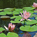 Pink Water Lilies by Suzanne Gaff