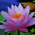 Pink Water Lily 007 by George Bostian