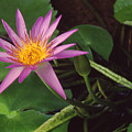 Pink Water Lily by Jim Smith