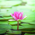 Pink Water Lily by Leslie Banks