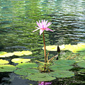Pink Water Lily Pad by Rogers