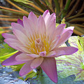 Pink Water Lily by Rogers